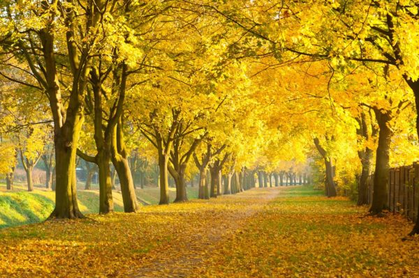 Gold And Yellow Leafs Wallpaper